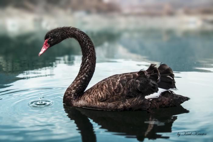 Black_Swan_0