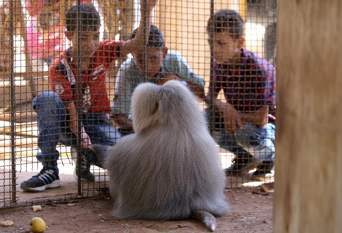Saïd, le babouin le plus célèbre d'Alep (AFP / Youssef Karwashan)